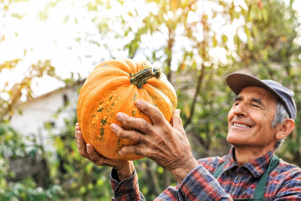 Older man holds freshly picked pumpkin.